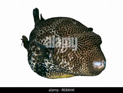 Large map pufferfish on white background. Ambon, Indonesia - Stock Photo