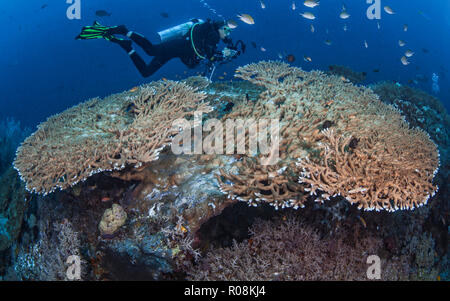 Female scuba diver, underwater photographer and videographer records marine life activity on large Acropora table corals. Raja Ampat, Indonesia. April - Stock Photo