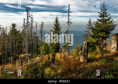 Dead Spruces (Picea), protected forest, Belchen, Black Forest, Baden-Württemberg, Germany - Stock Photo