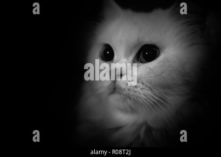 Black and white and isolate potrait of persian long hair cat - Stock Photo