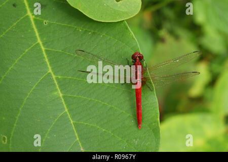 Scarlet skimmer or Crimson darter , Red Dragonfly on leaf with natural green background - Stock Photo