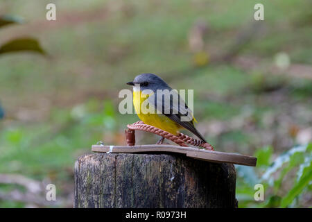 Eastern Yellow Robin - At O'Reilly's Rainforest Retreat, Lamington National Park - Stock Photo
