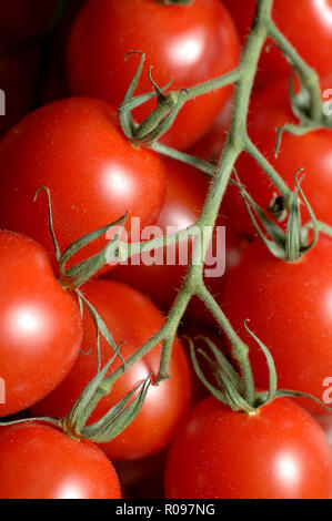 bunch of tomatoes on a sprig - Stock Photo