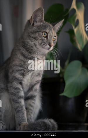 Young gray cat sitting on white window board with plant in the background - Stock Photo