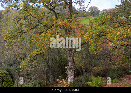 Colourful autumn leaves on oak trees in late October in Carmarthenshire countryside in rural Wales UK  KATHY DEWITT - Stock Photo