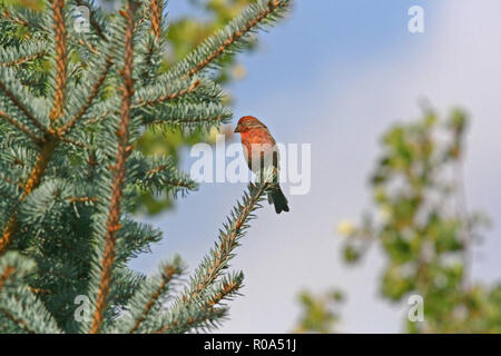 Birds of North America, House finch, carbonaceous mexicanus - Stock Photo