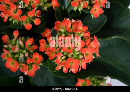 Florist kalanchoe, Kalanchoe (Kalanchoe blossfeldiana) - Stock Photo