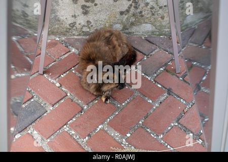 tortoiseshell cat lying on brick walk - Stock Photo