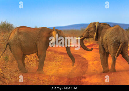 Two adult Elephants, Loxdonta Africana, facing each other, on red sand. Game drive safari in Madikwe Reserve, South Africa, near Botswana and Kalahari Desert. The African Elephant is part of Big Five. - Stock Photo