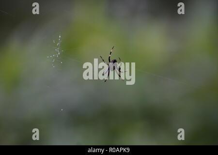 Garden Orb Weaving Spider - Stock Photo