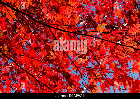 Beautiful autumn / fall leaves taken around Cardiff, South Wales, UK - Stock Photo