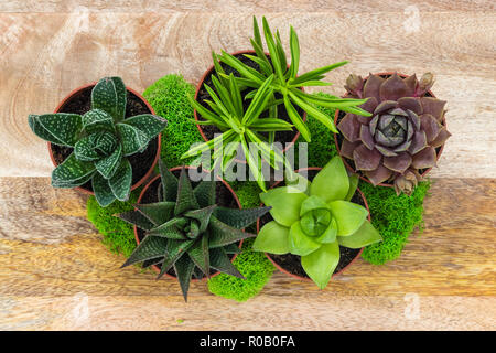 Succulent plants and moss arrangement, on a wooden surface. - Stock Photo