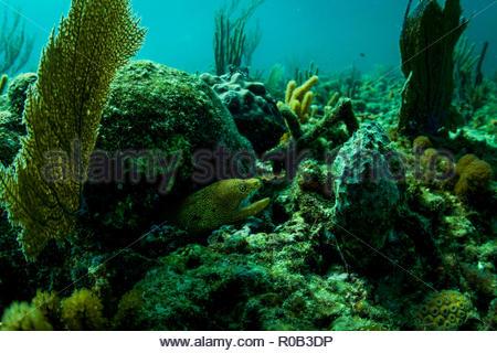 moray eel florida reef - Stock Photo