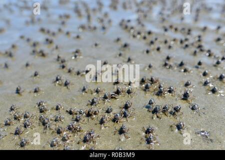 Soldier crabs Mictyris longicarpus running along a beach during low tide, Balgal beach, QLD, Australia - Stock Photo