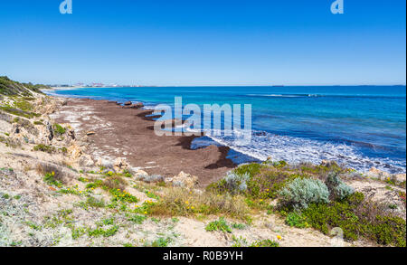 A build up of seagrass and seaweed on the shores of South Cottesloe Beach. - Stock Photo