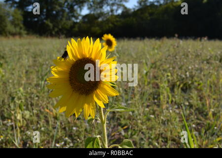 Sunflowers growing in wild meadow left uncultivated by farmer in Kent near Sevenoaks. Wildflowers grow in field borders left for biodiversity - Stock Photo