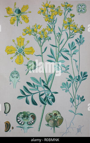 Digital improved high quality reproduction: Ruta graveolens, commonly known as rue, common rue or herb-of-grace, is a species of Ruta grown as an ornamental plant and herb - Stock Photo