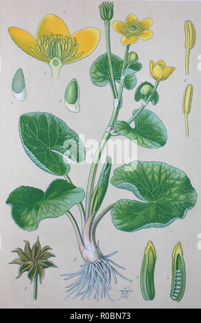 Digital improved high quality reproduction: Caltha palustris, known as marsh-marigold and kingcup, is a small to medium size perennial herbaceous plant of the buttercup family - Stock Photo