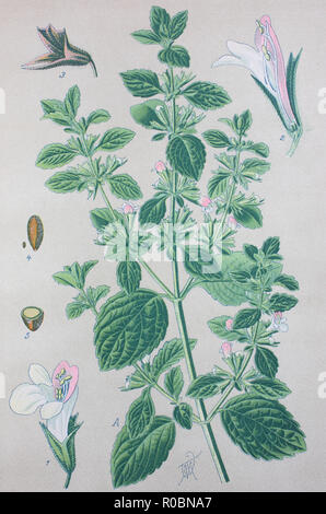 Digital improved high quality reproduction: Lemon balm, Melissa officinalis, balm, common balm, or balm mint, is a perennial herbaceous plant in the mint family Lamiaceae - Stock Photo