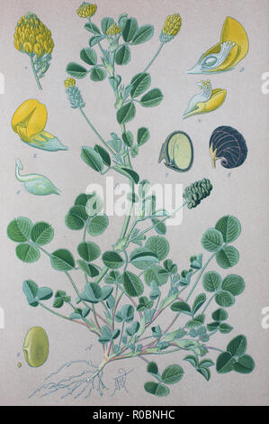 Digital improved high quality reproduction: Medicago lupulina, commonly known as black medick, nonesuch, or hop clover, is a plant of dry grassland belonging to the legume or clover family - Stock Photo