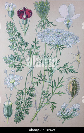 Digital improved high quality reproduction: Daucus carota, whose common names include wild carrot, bird's nest, bishop's lace, and Queen Anne's lace, North America, is a white, flowering plant in the family Apiaceae - Stock Photo