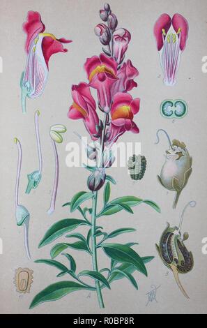 Digital improved high quality reproduction: Antirrhinum majus, common snapdragon, is a species of flowering plant belonging to the genus Antirrhinum - Stock Photo