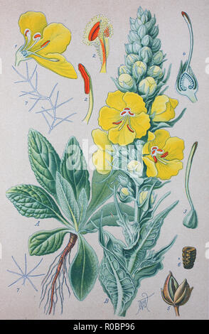 Digital improved high quality reproduction: Verbascum thapsus, the great mullein or common mullein, is a species of mullein - Stock Photo
