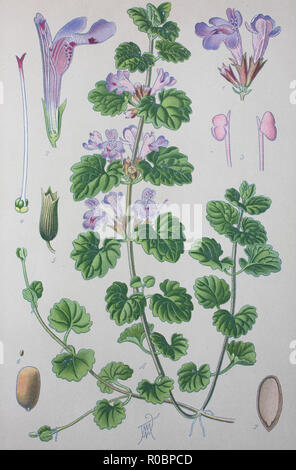 Digital improved high quality reproduction: Glechoma hederacea, syn. Nepeta glechoma Benth., Nepeta hederacea, L., Trevir., is an aromatic, perennial, evergreen creeper of the mint family Lamiaceae. It is commonly known as ground-ivy, gill-over-the-ground, creeping charlie, alehoof, tunhoof, catsfoot, field balm, and run-away-robin. It is also sometimes known as creeping jenny - Stock Photo