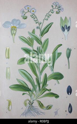 Digital improved high quality reproduction: Myosotis scorpioides, syn. Myosotis palustris, the true forget-me-not, water forget-me-not, is an herbaceous perennial flowering plant in the borage family, Boraginaceae. - Stock Photo