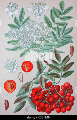 Digital improved high quality reproduction: Sorbus aucuparia, commonly called rowan and mountain-ash, is a species of deciduous tree or shrub in the rose family - Stock Photo
