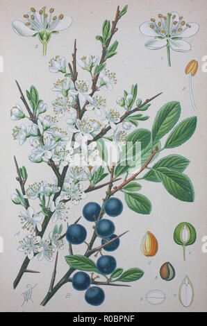 Digital improved high quality reproduction: Prunus spinosa, called blackthorn or sloe, is a species of flowering plant in the rose family Rosaceae - Stock Photo