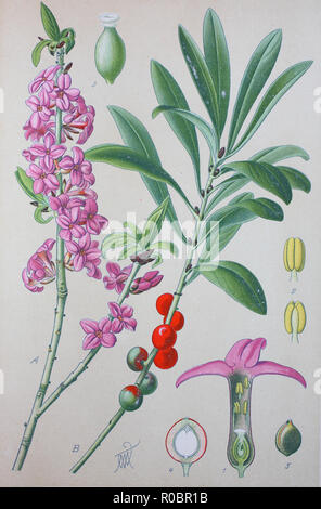 Digital improved high quality reproduction: Daphne mezereum, commonly known as February daphne, mezereon, mezereum, spurge laurel or spurge olive, is a species of Daphne in the flowering plant family Thymelaeaceae - Stock Photo