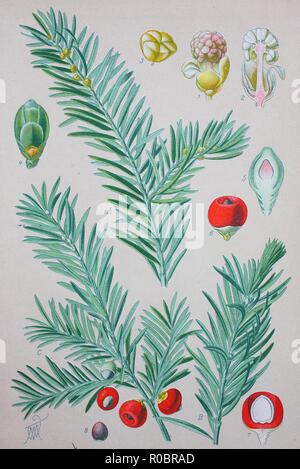 Digital improved high quality reproduction: Taxus baccata is a conifer native to western, central and southern Europe, northwest Africa, northern Iran and southwest Asia. It is the tree originally known as yew, though with other related trees becoming known, it may now be known as English yew, or European yew - Stock Photo