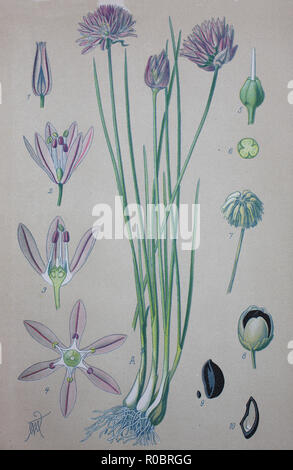 Digital improved high quality reproduction: Chives, scientific name Allium schoenoprasum, are an edible species of the genus Allium - Stock Photo