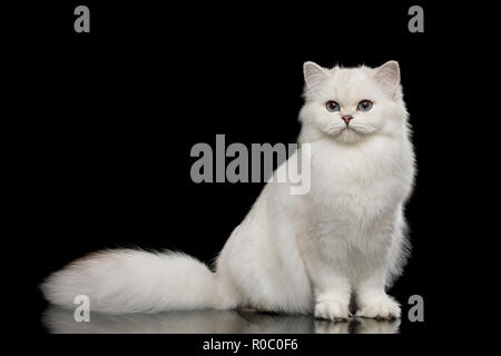 Adorable British breed Cat White color with Blue eyes, Sitting and looking in Camera on Isolated Black Background, front view - Stock Photo