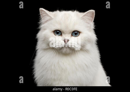Portrait of British breed Cat, Pure White color with Blue eyes, looking in Camera on Isolated Black Background, front view - Stock Photo