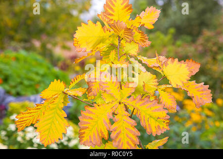 Autumn yellowed oak leaves on a branch in the park - Stock Photo