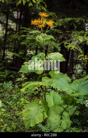 Yellow flowers of wild species heartleaf Oxeye / Telekia speciosa on the Tara mountain in Serbia - Stock Photo