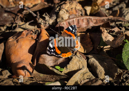 Single isolated butterfly red admiral / Vanessa atalanta sunbathing - Stock Photo