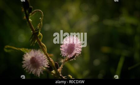 Flower of Sensitive plant or Sleepy plant. - Stock Photo