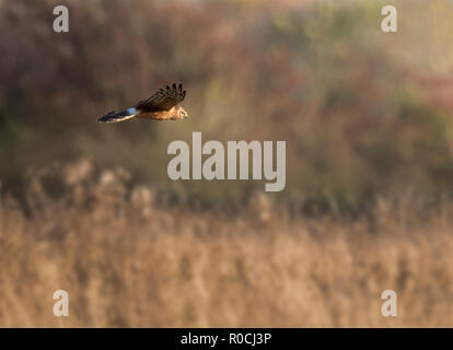 A female/ringtail Hen harrier (Circus cyaneus) hunts low over grasslands in Gloucestershire - Stock Photo