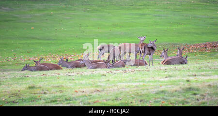Herd of red deer grazing during the rutting season - Stock Photo
