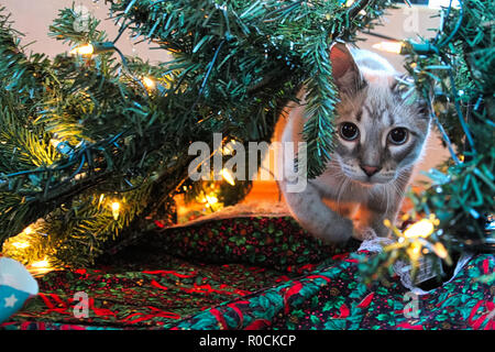 A cat playfully stalks through a Christmas Tree - Stock Photo