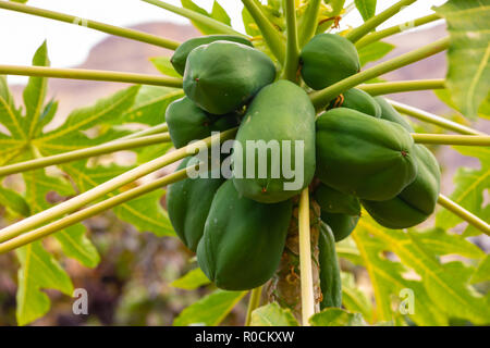 Fresh Green Papayas Growing On Tree At Plantation - Stock Photo