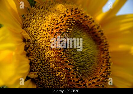 Closeup of a bee pollinating a sunflower (lat.:Helianthus) - Stock Photo