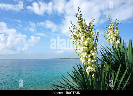 White flowers of Yucca gloriosa plant in front of the beautiful turquoise sea lagoon on the Adriatic sea - Stock Photo