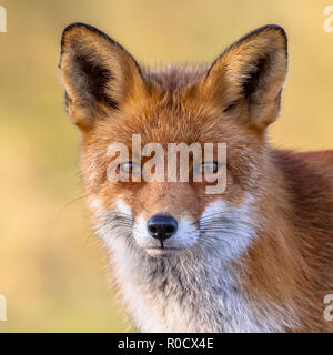 A full resolution portrait of the head of a red fox male (Vulpes vulpes)  in natural environment with yellow background. The beautiful wild animal of  - Stock Photo