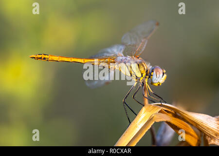 The Red-veined Darter or Nomad (Sympetrum fonscolombii) is a dragonfly of the genus Sympetrum - Stock Photo
