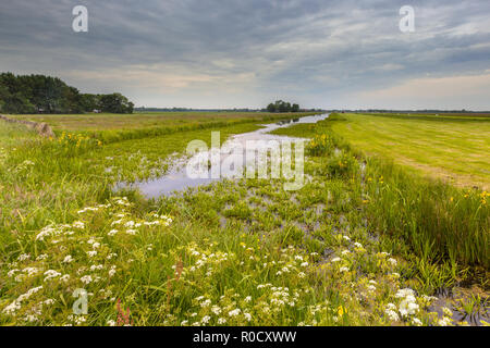 Dutch canal filled by Water Soldier (Stratiotes aloides) also known as Crab's claw. This is the natural habitat of protected rare dragonfly species li - Stock Photo