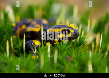 Fire salamanders (Salamandre salamandre) live in central European old humid forests and are more common in wet areas. - Stock Photo